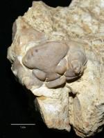 Chasmops wesenbergensis Schmidt, ELM G1:142