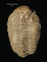 Chasmops odini Eichwald, ELM G1:3288