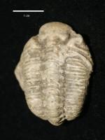 Chasmops odini Eichwald, ELM G1:3289