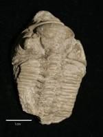 Chasmops odini Eichwald, ELM G1:3290