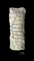 Orthoceras centrale Hisinger, ELM G1:362
