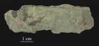 Mastopora concava Eichwald, ELM G1:5110