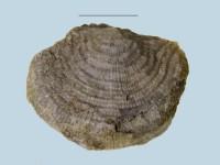 Leptaena temistriata, ELM G143:1