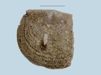 Clitambonites squamatus (Pahlen, 1877), ELM G143:103:1