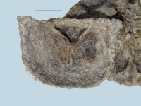 Clinambon anomalus (Schlotheim, 1822), ELM G143:109