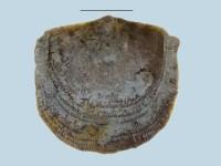 Estlandia marginata (Pahlen, 1877), ELM G143:164