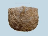 Clitambonites squamatus (Pahlen, 1877), ELM G143:166:1