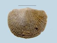 Estlandia marginata (Pahlen, 1877), ELM G143:179:1