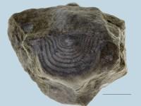 Leptaena temistriata, ELM G143:2