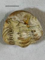 Chasmops odini Eichwald, ELM G289:118