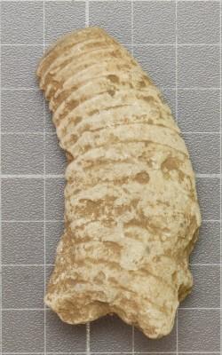 Beloitoceras heterocurvatum, ELM G5:6