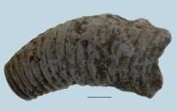 Beloitoceras heterocurvatum, ELM G5:5