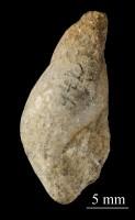 Subulites priscus Eichwald, ELM G8:253