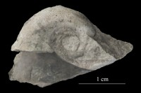 Salpingostoma megalostoma Eichwald, ELM G8:384