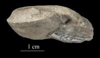 Lophospira lyckholmiensis (Teichert), ELM G8:559