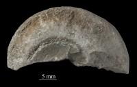 Lophospira sp., ELM G8:651