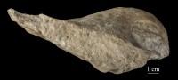 Salpingostoma dilatatum Eichwald, ELM G8:733