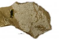 Chasmatopora furcata (Eichwald, 1854), GIT 102-43