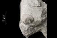 Crinoidea