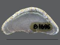 Stigmatella massalis Bassler, 1911, GIT 105-19