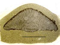 Stigmatella massalis Bassler, 1911, GIT 105-32