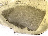 Annunziopora foordi (Nicholson, 1889), GIT 105-40