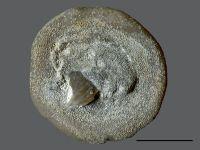 Stigmatella massalis Bassler, 1911, GIT 105-9