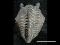 Encrinurus (Encrinurus) schisticola Törnquist, 1884, GIT 108-1