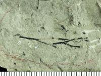 Dendrograptus vulgaris Obut, 1953, GIT 119-19