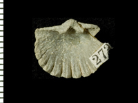Glossorthis schmidti (Wysogórski, 1900), GIT 125-108