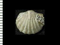 Nicolella sp., GIT 125-173