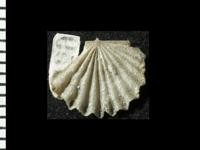 Nicolella pterygoidea (Pander, 1830), GIT 125-174