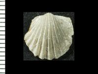 Glossorthis schmidti (Wysogórski, 1900), GIT 125-183