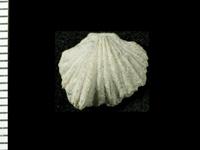 Platystrophia sp. b Rubel, 1961, GIT 125-188