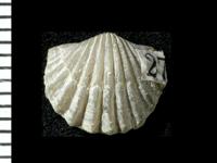Nicolella pterygoidea (Pander, 1830), GIT 125-64