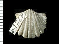 Nicolella pterygoidea (Pander, 1830), GIT 125-65