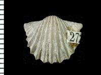 Nicolella pterygoidea (Pander, 1830), GIT 125-66