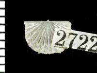 Nicolella pterygoidea (Pander, 1830), GIT 125-67