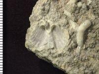 Neoplatystrophia affabilis (Rubel, 1962), GIT 126-6