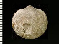 Dalmanelloidea