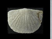 Dolerorthis rustica (J. de C. Sowerby, 1839), GIT 128-34
