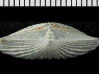 Dolerorthis rustica (J. de C. Sowerby, 1839), GIT 128-35
