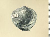 Atrypa (Atrypa) reticularis (Linnaeus, 1758), GIT 130-123
