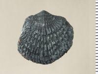 Atrypa (Atrypa) reticularis (Linnaeus, 1758), GIT 130-124