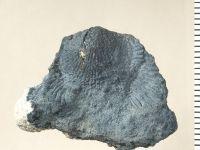Atrypa (Atrypa) reticularis (Linnaeus, 1758), GIT 130-127
