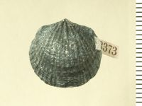 Atrypa (Atrypa) reticularis (Linnaeus, 1758), GIT 130-128