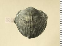 Atrypa (Atrypa) reticularis (Linnaeus, 1758), GIT 130-129