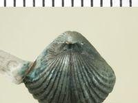 Homoeospira baylei (Davidson, 1848), GIT 130-158
