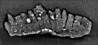 Ozarkodina excavata excavata (Branson et Mehl, 1933), GIT 132-12