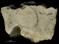 Cyclocrinites roemeri Stolley, 1896, GIT 156-1181